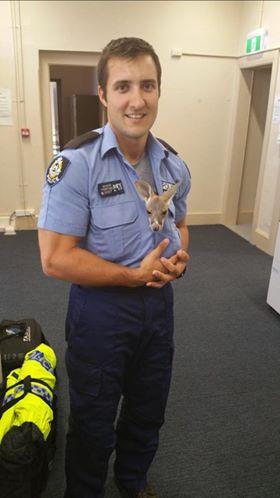 Canguru bebê 'adota' policial após perder a mãe em acidente (Crédito: Reprodução)