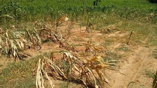 Falta de chuva gera prejuízos para produtores de Santa Rosa