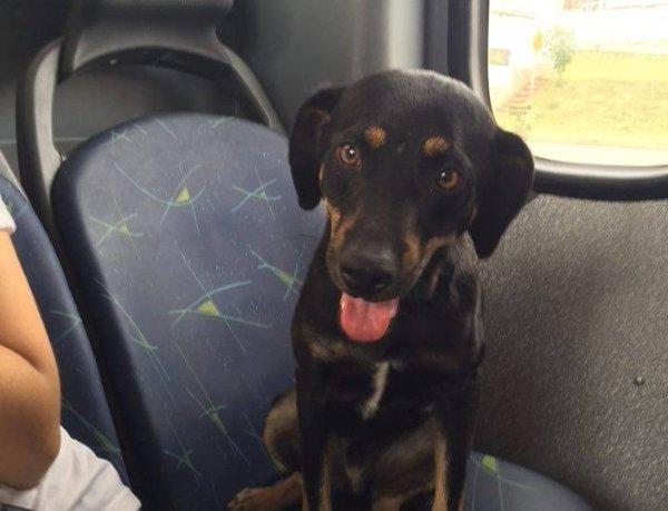Cachorro 'pega ônibus' e chama atenção de passageiros  (Crédito: Reprodução)