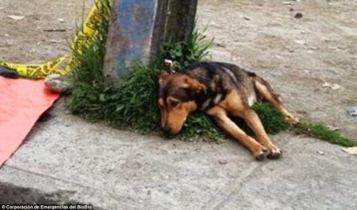 Cão não sai do lado do dono (Crédito: Reprodução)
