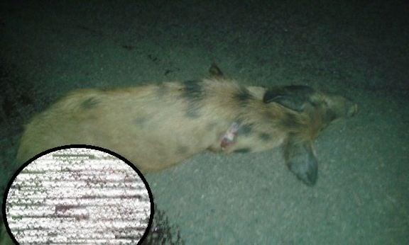 Animal morreu na hora (Crédito: Reprodução)