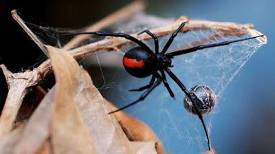Homem foi picado por aranha em seu órgão genital