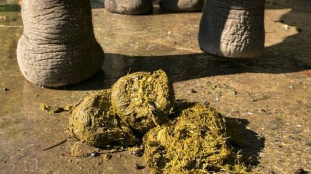 Papel de fezes de elefante (Crédito: Reprodução)