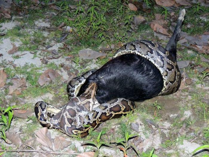 Cobra tenta engolir cabra e fica engasgada