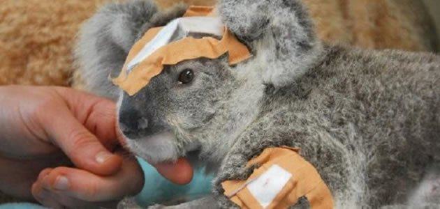 Os coalas podem desaparecer da Austrália. Entenda!