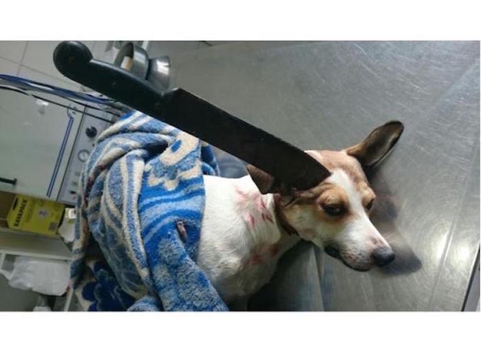 Cachorro com facão cravado na cabeça (Crédito: Reprodução)
