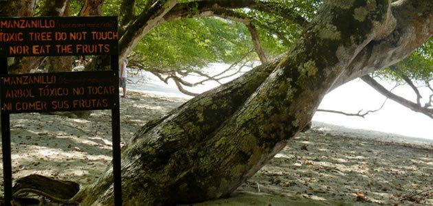 """Conheça a """"arbol de la muerte"""", a árvore da morte"""
