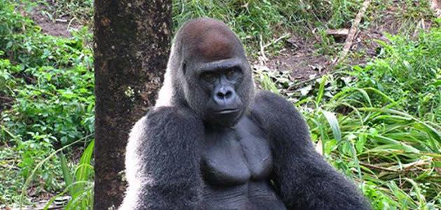 15 curiosidades que você não sabia sobre os gorilas