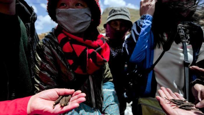 O fungo, conhecido como o viagra do Himalaia, é considerado precioso  (Crédito: AFP)