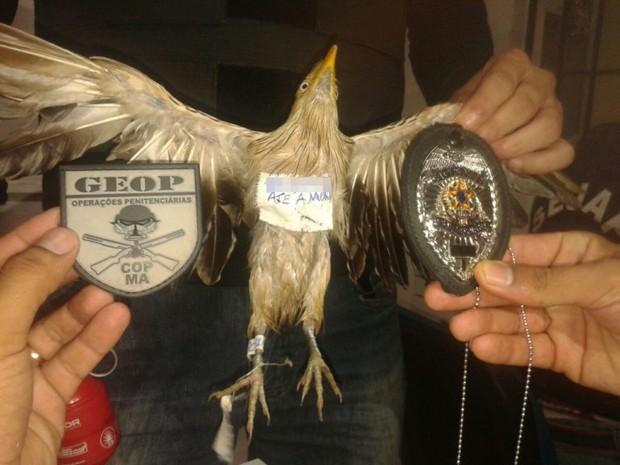 Pássaro apreendido (Crédito: GEOP/Divulgação))