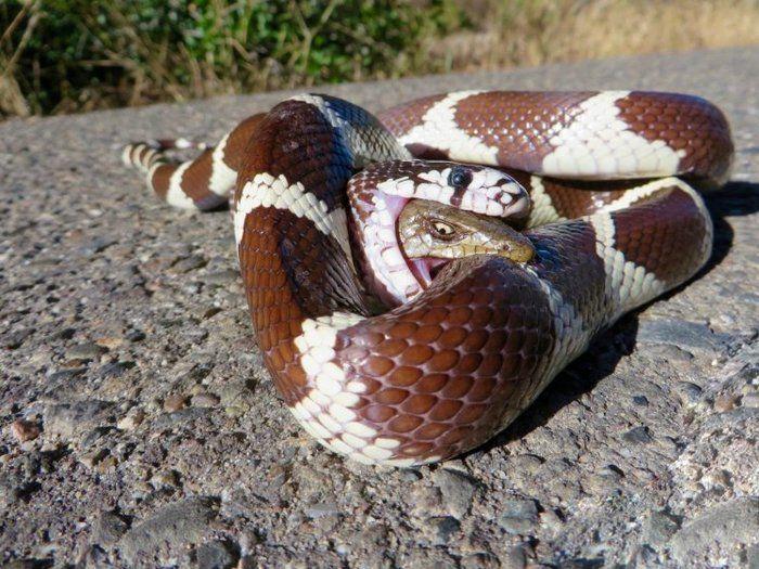 Lagarto foi devorado por cobra (Crédito: Bryan Snyder)