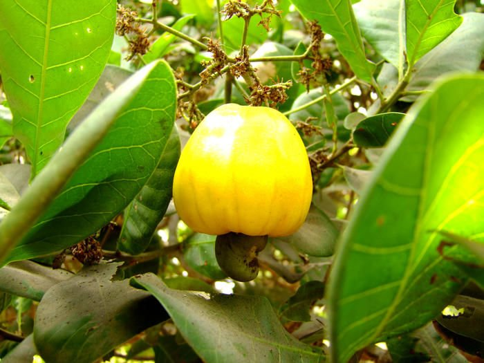 Caju: fonte de vitamina C e A.