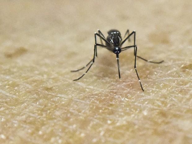 Aedes aegypti (Crédito: Reprodução)