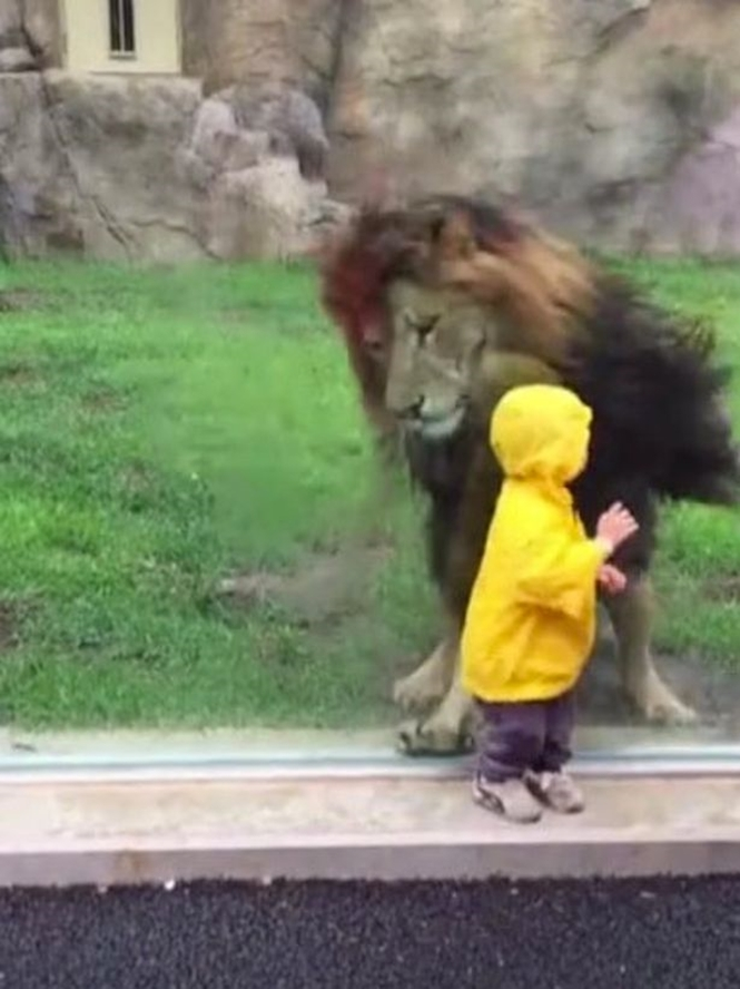 Leão se prepara para atacar criança (Crédito: Reprodução)