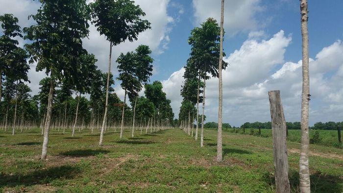 Plantação de Mogno Africano (Crédito: IBF)