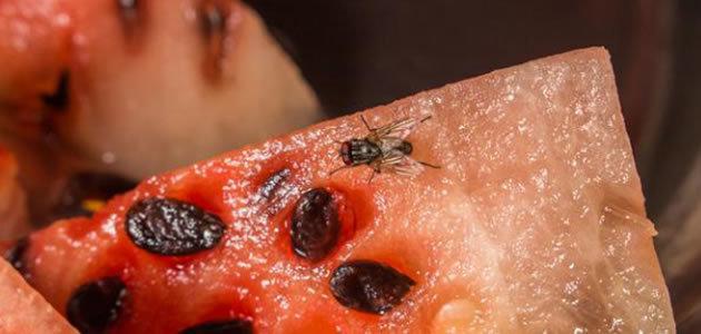 Saiba como fazer repelentes naturais contra as moscas