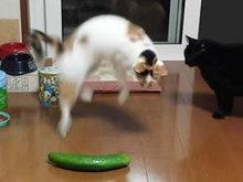 Descubra porque os gatos de assustam com pepinos