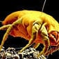 Mistura de eucalipto promete acabar com os ácaros