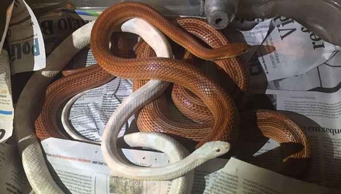 Homem criava cobras em cativeiro sem autorização do Ibama