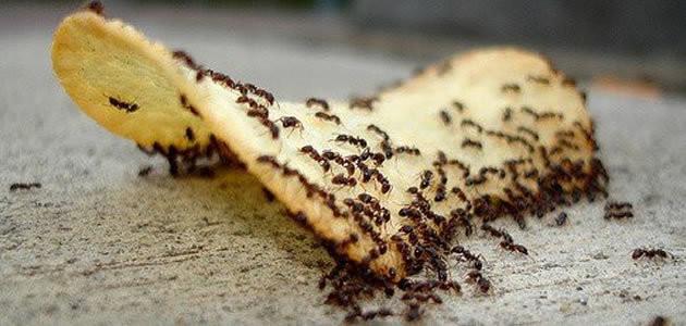 Alimentos com formigas podem fazer muito mal à saúde