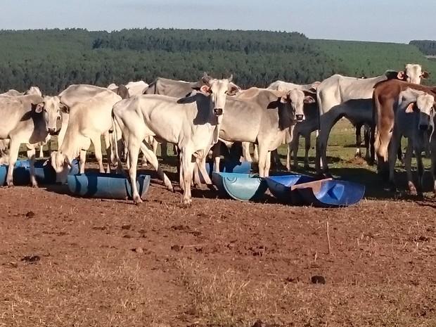 Pelo menos mil cabeças de gado estão na fazenda com pouca pastagem (Crédito: Reprodução)