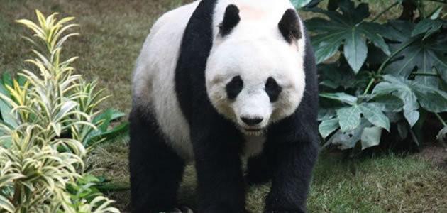 8 coisas que você não sabia sobre os pandas