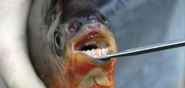 Piranhas vegetarianas são encontradas com dentes