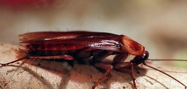 10 coisas que você não sabia sobre as baratas