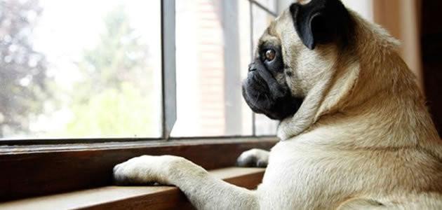 Cães conseguem prever quando o dono está chegando em casa?