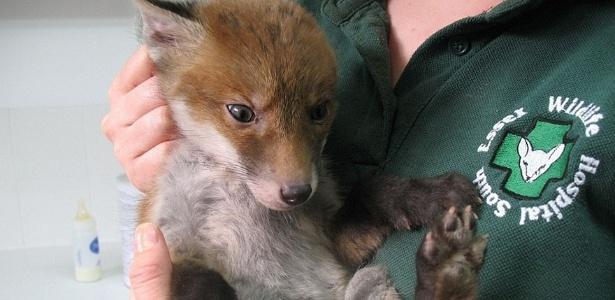 Se transformou em uma raposa vermelha (Crédito: Reprodução)