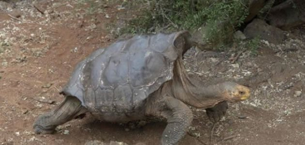 Tartaruga de 100 anos é famosa por enorme apetite sexual