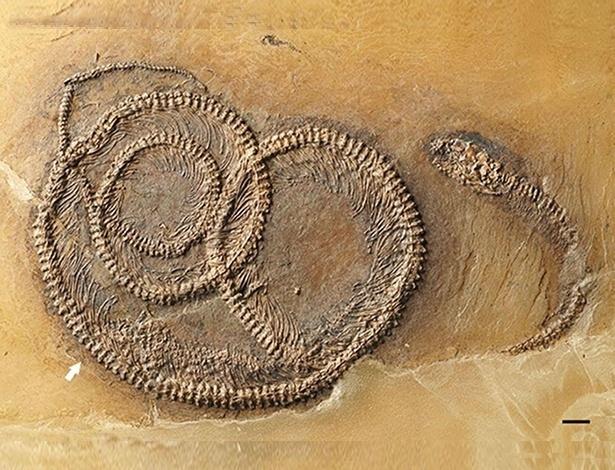 """Um fóssil de 48 milhões de anos """"flagrou"""" um inseto na barriga de um lagarto que está na barriga de uma cobra (Crédito: Reprodução)"""