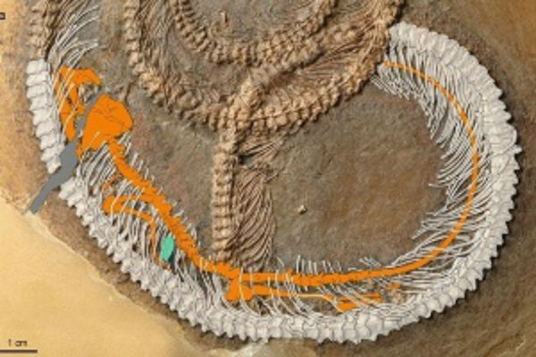 Reproduções de computador ajudam a identificar onde estão o inseto e o lagarto dentro da cobra (Crédito: Reprodução)