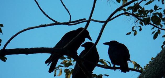 5 coisas que você não sabia sobre os corvos