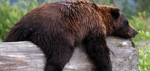 Por que os ursos fazem cocô quando hibernam?