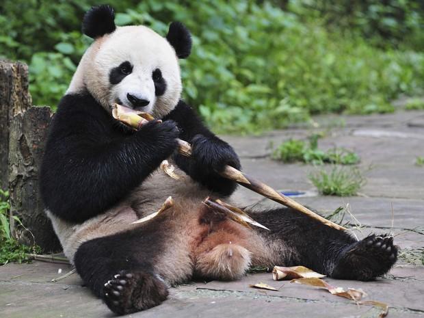 Urso Panda (Crédito: Reprodução)