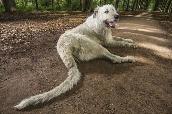 Cão com maior rabo do mundo  (Crédito: Divulgação)