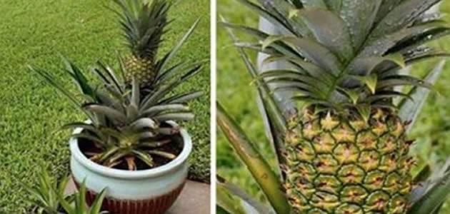 Aprenda a cultivar abacaxi em casa
