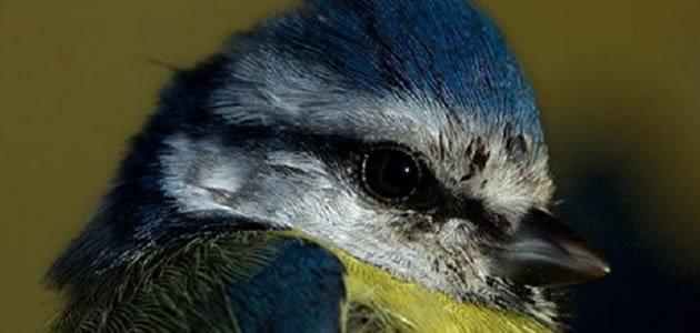 Pássaro zumbi come cérebros de outras aves