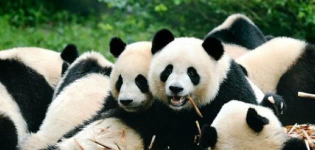 Pandas Gigantes estão fora do risco de extinção
