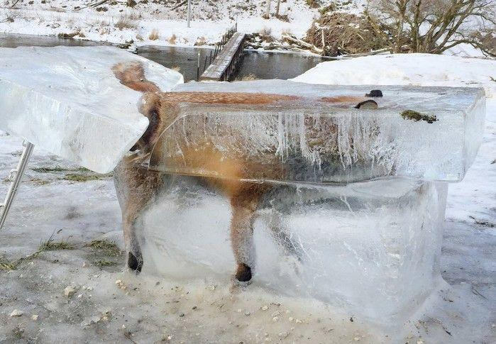 Animal caiu na água ao caminhar sobre fina camada de gelo que cobria rio Danúbio, no sudoeste da Alemanha, diz caçador. (Crédito: AFP)