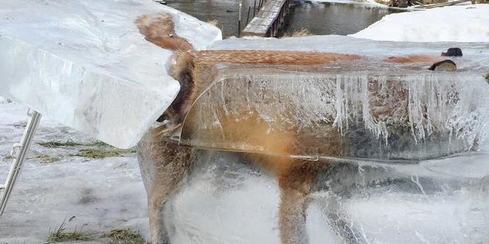A chocante foto de uma raposa congelada dentro de bloco de gelo