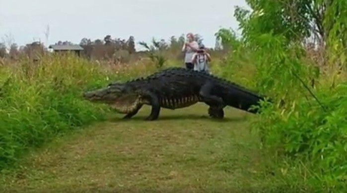 Jacaré gigante foi filmado