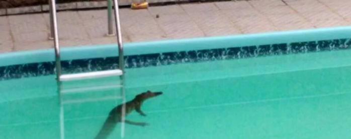 Jacaré é flagrado dentro de piscina