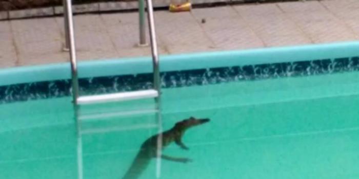 Jacaré de 1,2 metros  é capturado em piscina de residência; vídeo