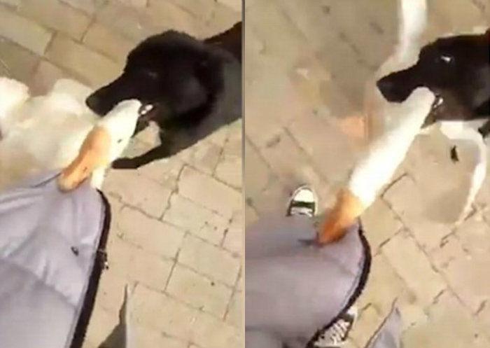 Cachorro salva dono que estava sendo atacado por ganso feroz