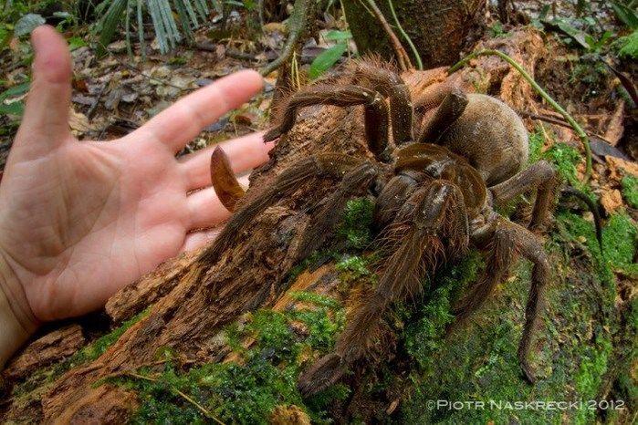 Aranha-Golias (Crédito: Reprodução)