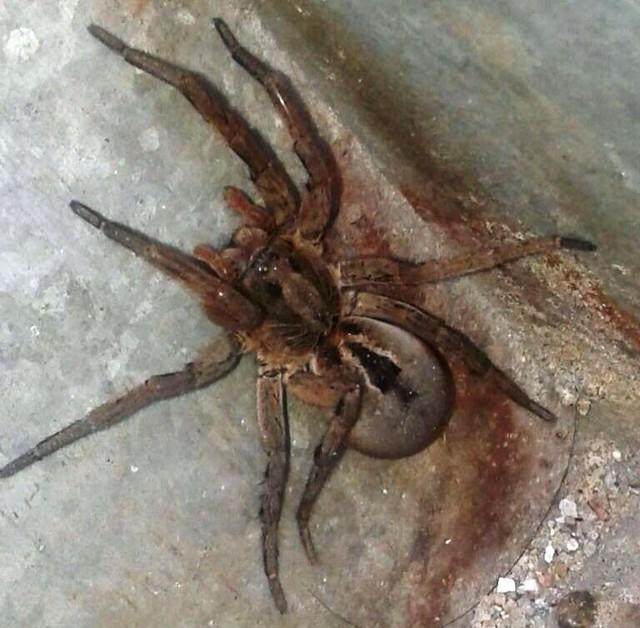 Aranha 'gigante' (Crédito: Roberto Campi)