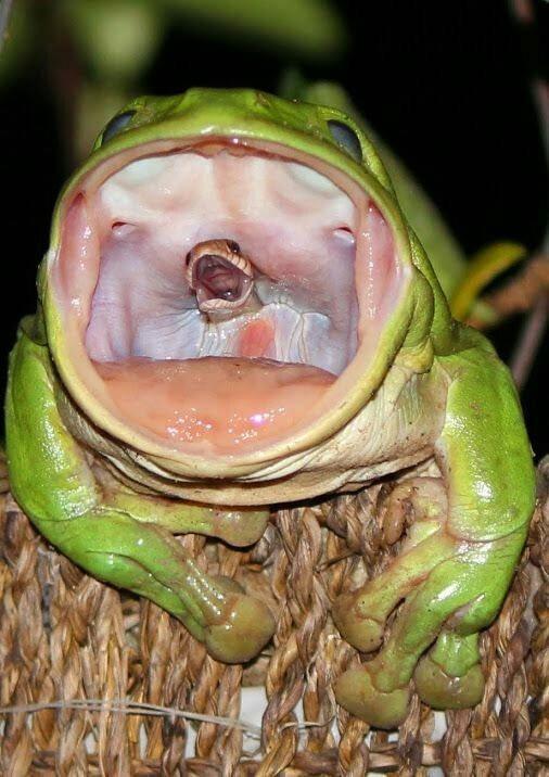 Sapo engole cobra (Crédito: Reprodução)