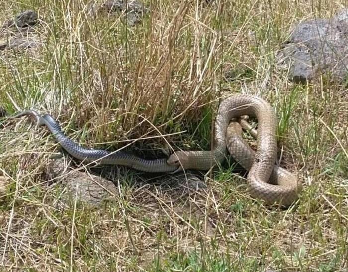 Cobra marrom venenosa engole rival negra em briga por sobrevivência (Crédito: Reprodução/Facebook(Snake Catcher Victoria Australia)